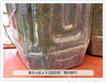 ペトさい(島らっきょう)73