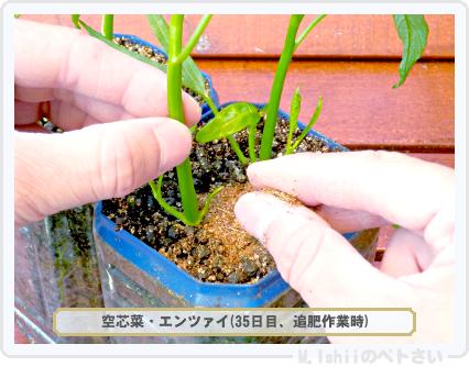 ペトさい(空芯菜)27