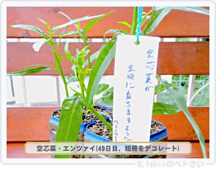 ペトさい(空芯菜)35