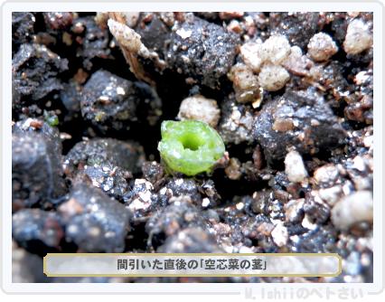ペトさい(空芯菜)40