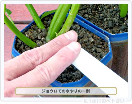 ペトさい(空芯菜)65