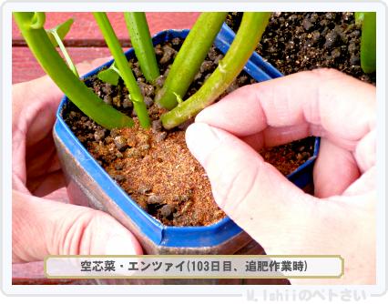 ペトさい(空芯菜)75