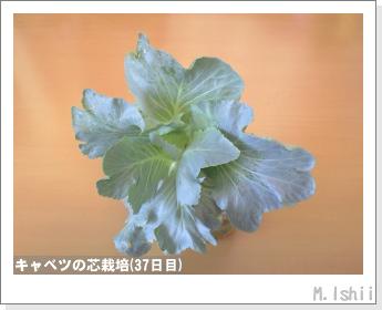 キャベツの芯栽培11