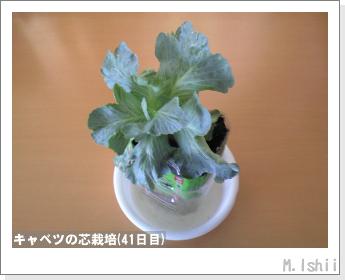 キャベツの芯栽培13