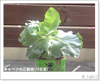 キャベツの芯栽培18