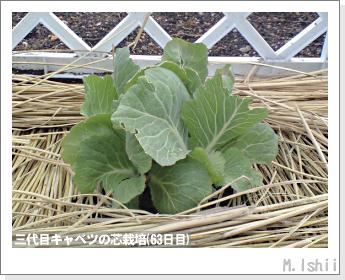 キャベツの芯栽培62