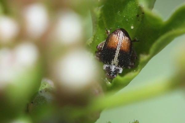 Ceutorhynchus semirufus
