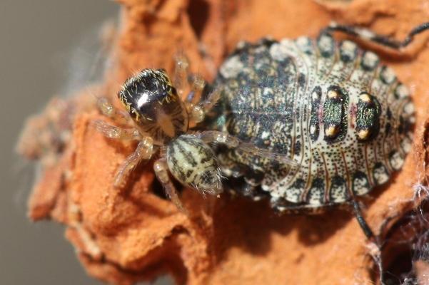 ハエトリグモの幼体