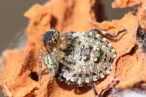 ハエトリグモの幼体2