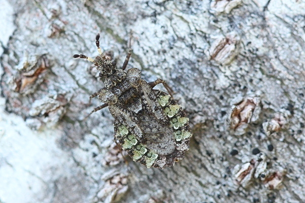 マルガタヒラタカメムシ♂2