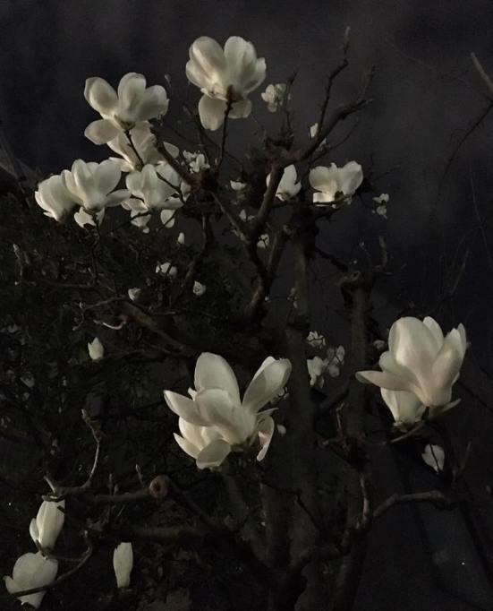 夜の白木蓮