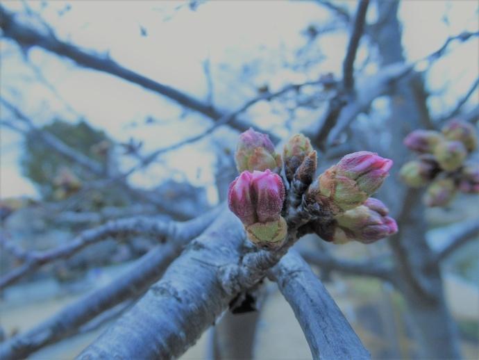 170327桜 (1)