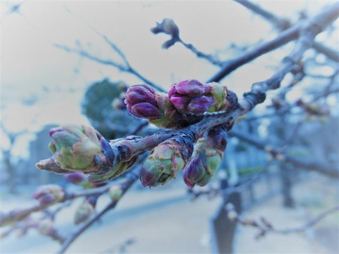 170327桜 (2)