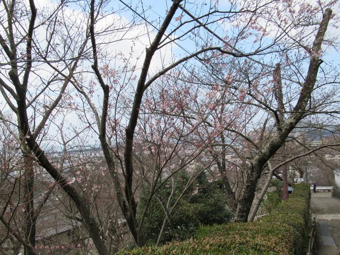 170328桜 (1)