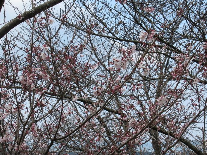 170328桜 (2)