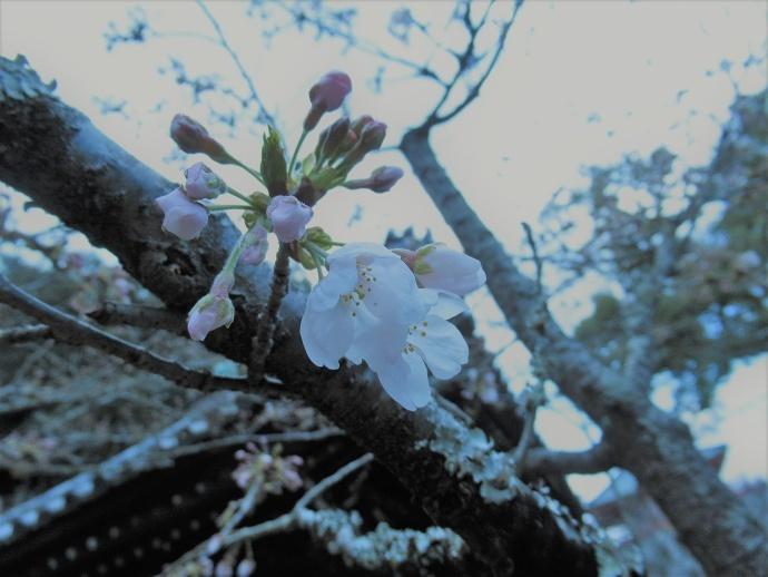 170328桜 (4)