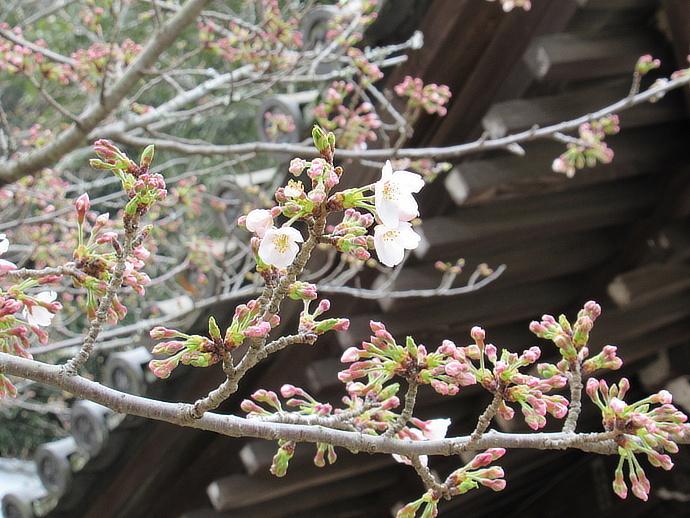 170328桜 (3)