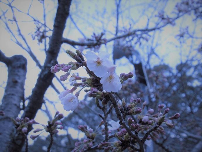 170328桜 (5)