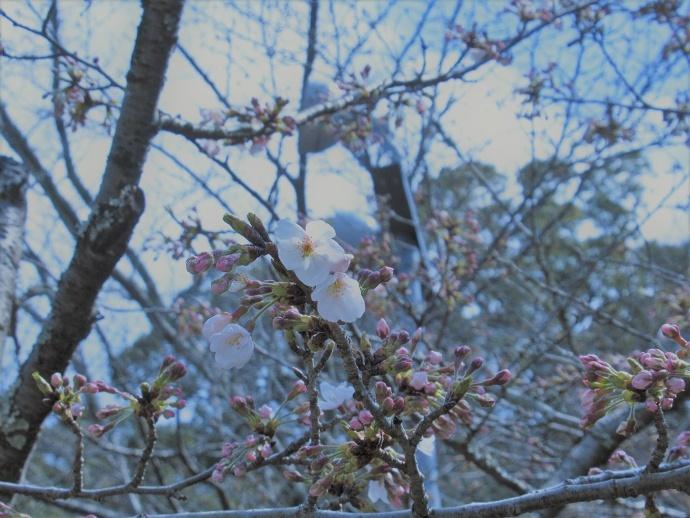 170328桜 (6)