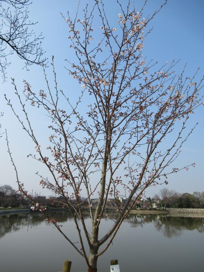 170330万代桜 (1)