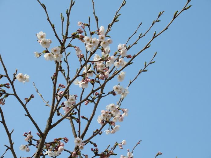 170330万代桜 (2)