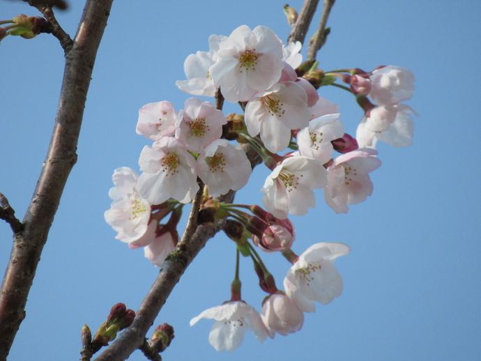170330万代桜 (4)