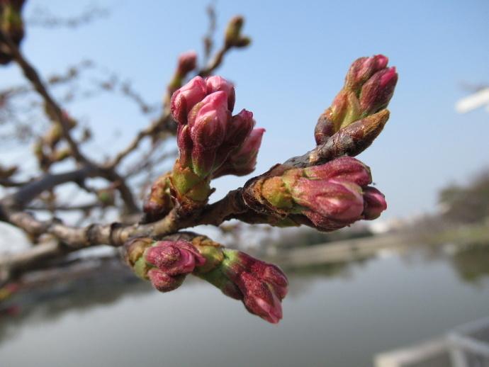 170330万代桜 (5)