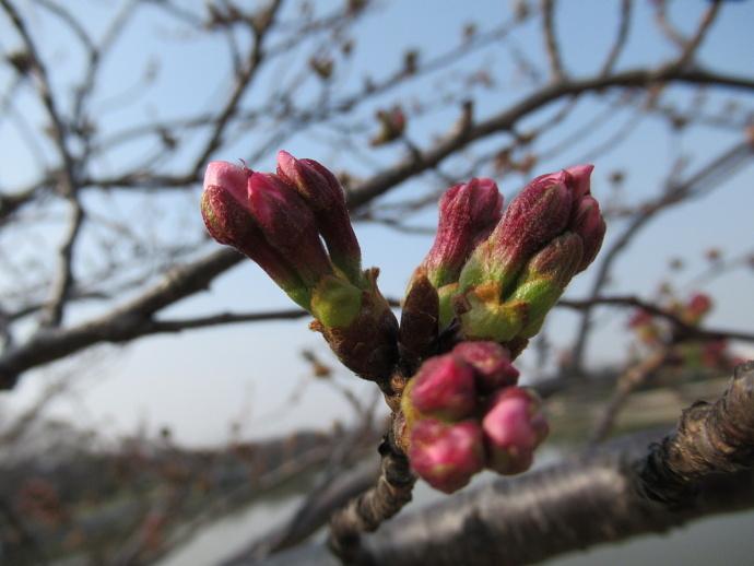 170330万代桜 (6)