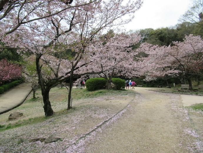 170415甲桜 (3)