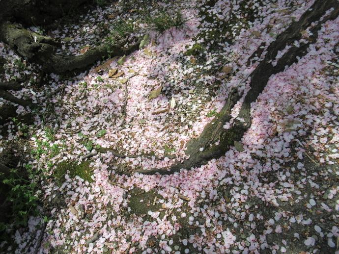 170415甲桜 (6)