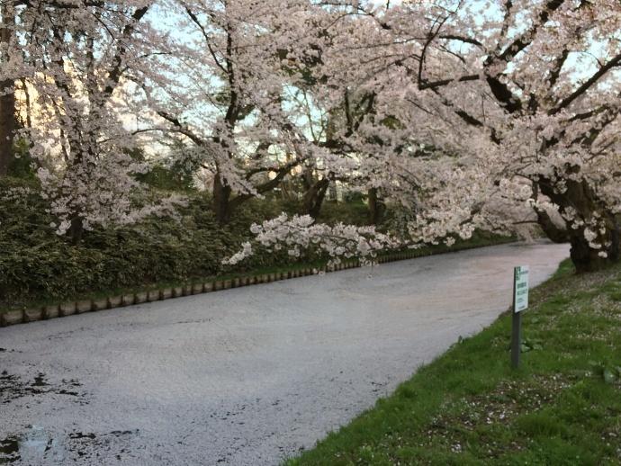 170430弘前桜 (2)