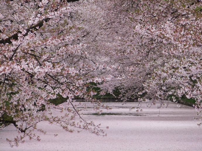170430弘前桜 (6)