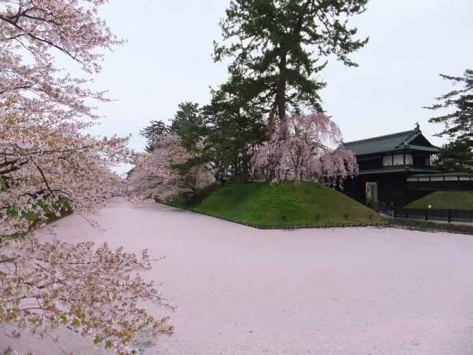 170430弘前桜 (7)