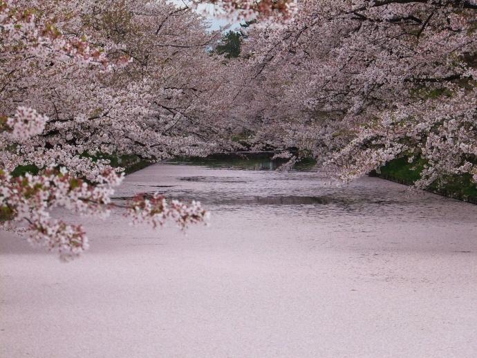 170430弘前桜 (8)