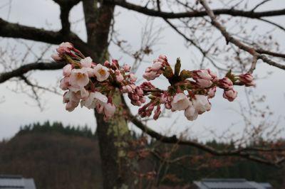 桜2017 2