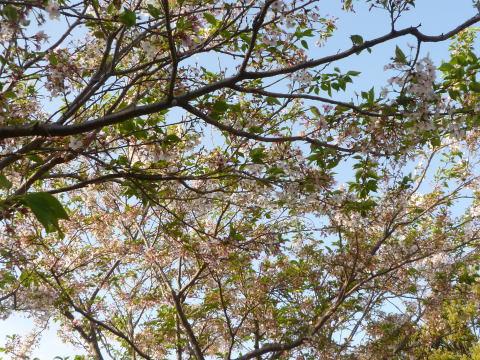 今年の桜は(1)