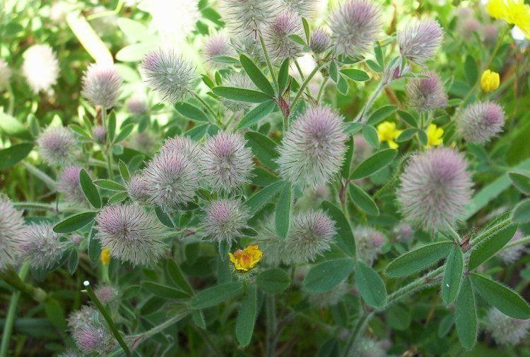 trifolium_arvense_1.jpg