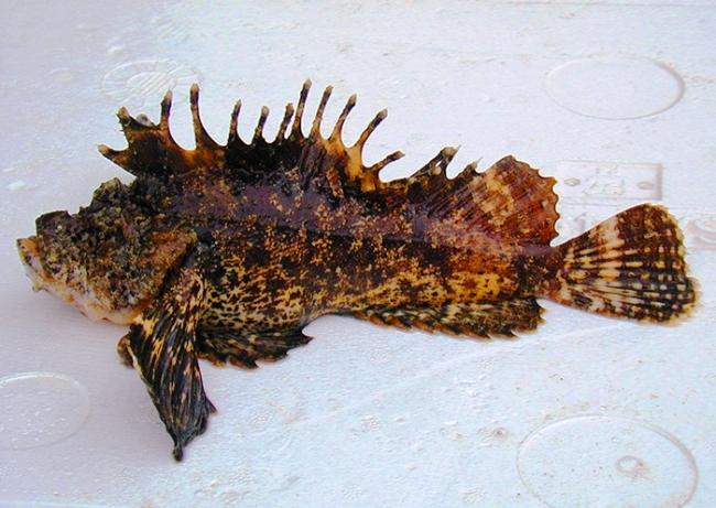 オコゼ(虎魚)