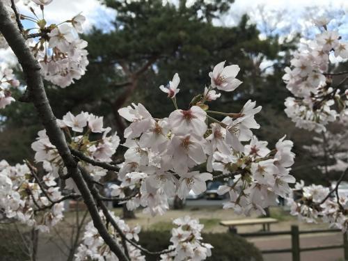 【2017 松ケ岡公園の桜並木】・4