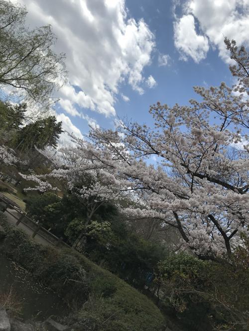 【2017 松ケ岡公園の桜並木】・1