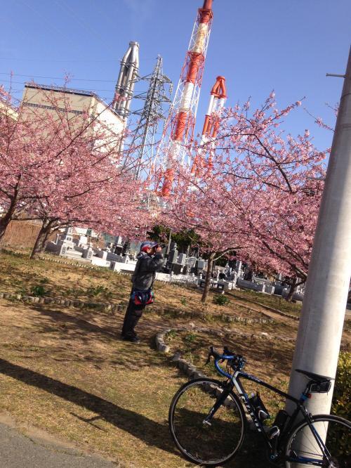 【常盤共同火力㈱の河津桜】・2