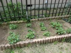 家庭菜園のじゃがいも4