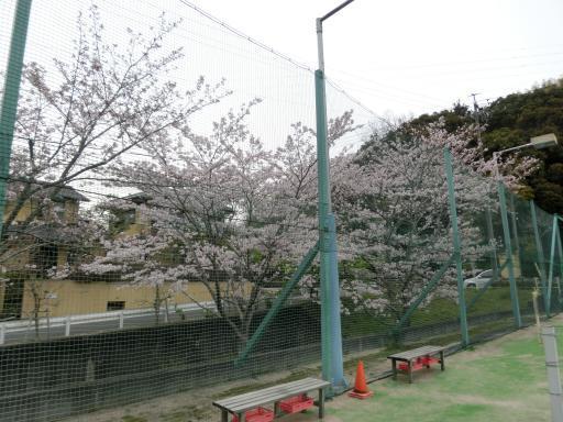 テニスコートの桜