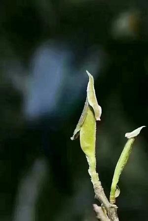 黄山毛峰ー芽