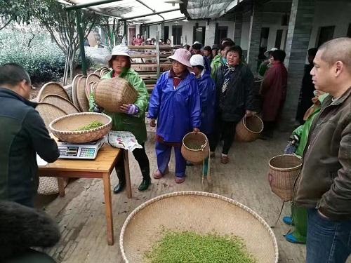 茶摘み2017年