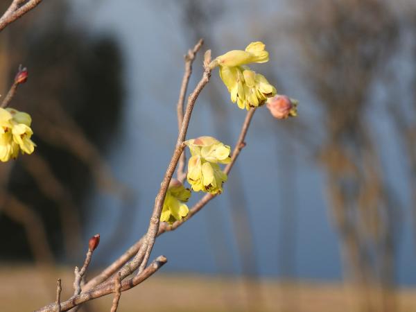 170320春の芽吹き_2