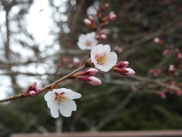 170326 櫻川磯部稲村神社3