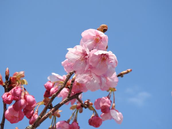 170329 早咲きの桜
