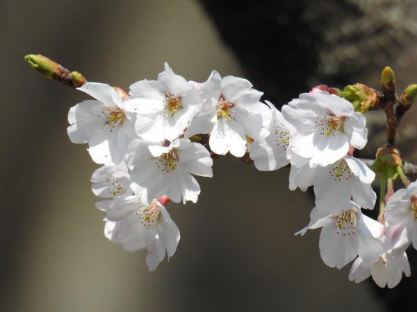 170405桜