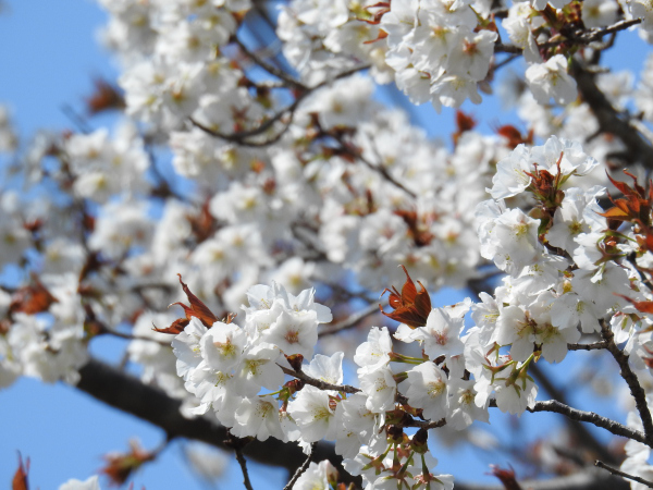 170406 あすなろの里 桜_4